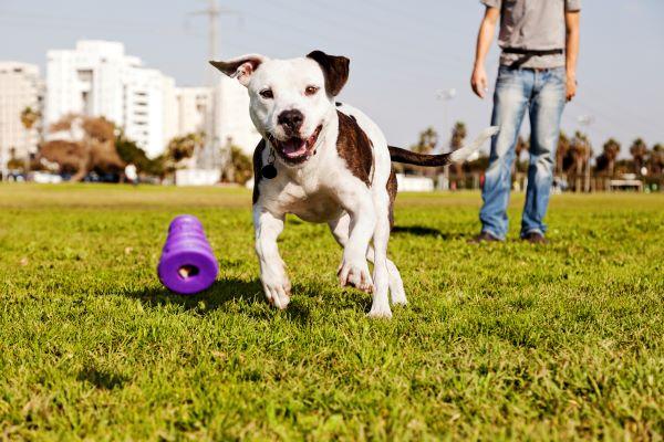 pit bull kdog running playing